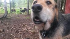 Colt, chien de compagnie