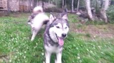 Sioux, chien de traineau