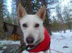 Balto, chien de traineau