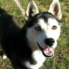 Mielikki, chien de traineau