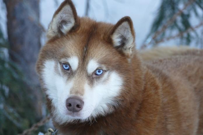 Dark shaman, chien de traineau