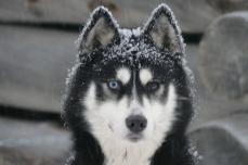 Ey'go, chien de traineau