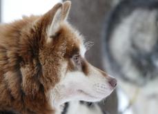 Groenland, chien de traineau
