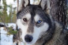 Hymalaya, chien de traineau