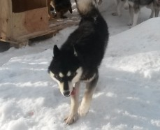Huron, chien de traineau