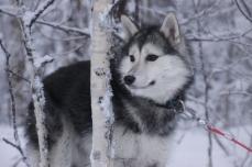 Joly runner, chien de traineau