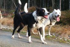 Nashoba, chien de traineau