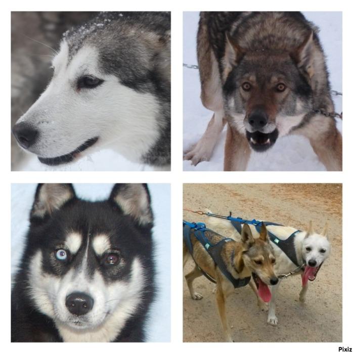Nos chiens de traineaux