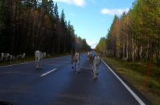 été en Laponie ; renne sur la route
