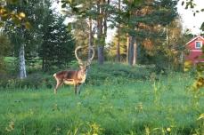 été en Laponie ; un renne