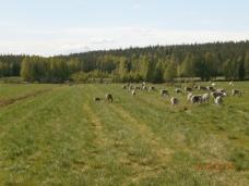 été en Laponie ; troupeau de renne