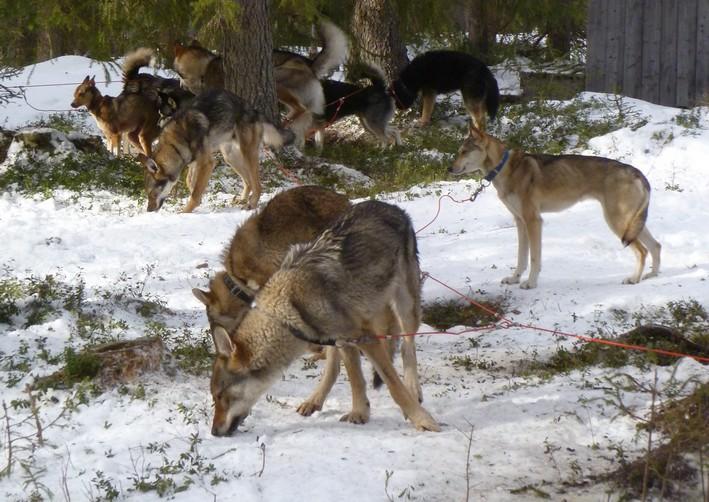 Musher attelage de chiens de traineau le b aba voyage - Combien de temps pour qu un coup de soleil parte ...